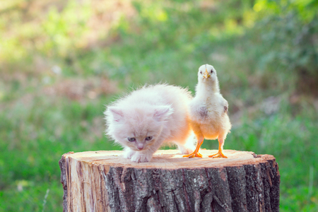 calico whiskers: Adorable red kitten with little chicken Stock Photo