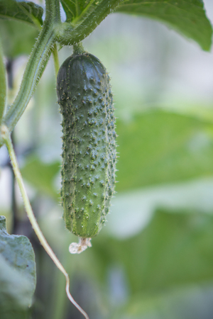 Cucumbers grow in the garden and greenhouses