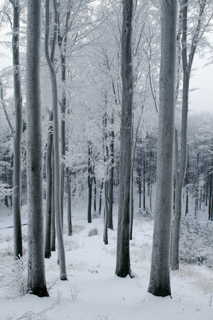 Snow Covered Beech Forest photo