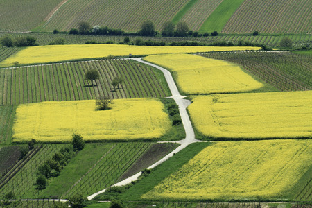 Aerial view of yellow rapeseed  Brassica napus  fields and vineyards