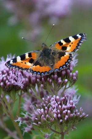 A beautiful Tortoiseshell Butterfly (Aglais urticae) on a hemp-pink flowers Agrimony. Stock Photo