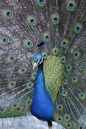 A beautiful colorful peacock head and neck with feathers