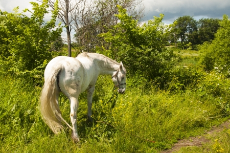 white horse on the field Stock Photo