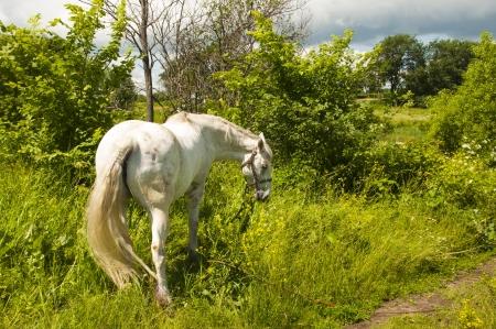 non urban 1: white horse on the field Stock Photo
