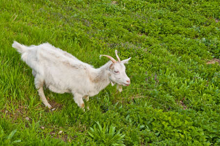ewes: Goat grazing on grass Stock Photo