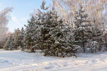 Christmas trees powdered with white snow Stock Photo