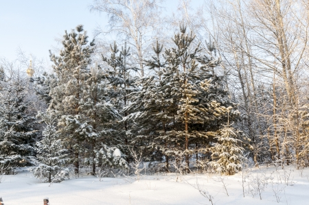 Christmas trees in the winter forest