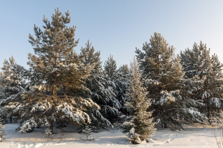 lone pine: Winter forest in Siberia in the snow in winter  Christmas Trees Stock Photo