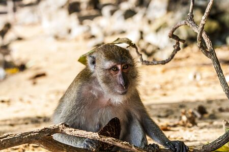 macaque: Young macaque monkey playing in the sand