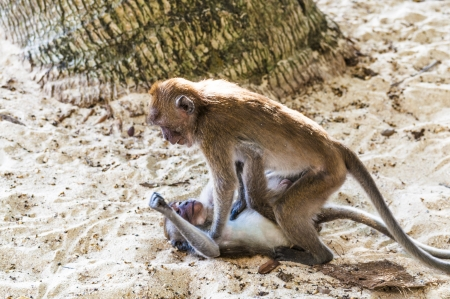 Macaque monkey playing in a tropical jungle in its natural habitat Stock Photo