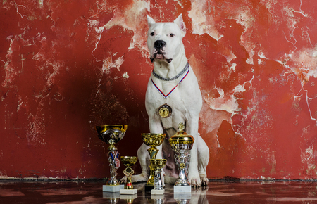 large dog: Large white Argentine dog breed service