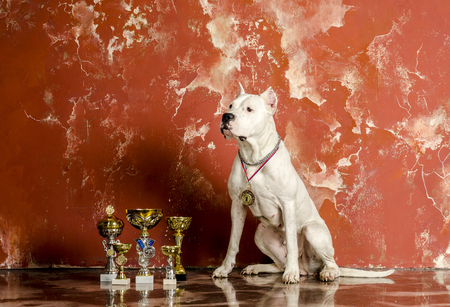 Argentine white dog with cups Stock Photo