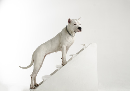 large dog: A large white dog breed Argentine