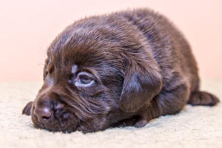 Puppy retriever labrador retriever dog brown chocolate color Stock Photo