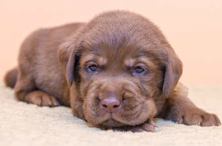 Puppy retriever labrador retriever dog brown chocolate color Stock Photo