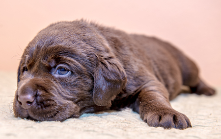 Puppy Brown Chocolate Labrador Retriever