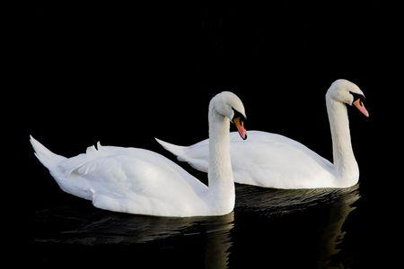 swan pair: Pair of swans