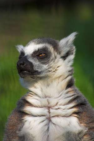 catta: Lemur catta (Ring-tailed lemur).
