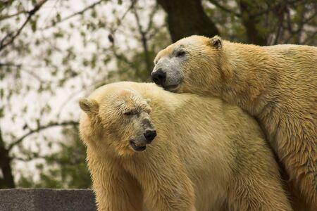 risky love: Polar bears in love. Stock Photo