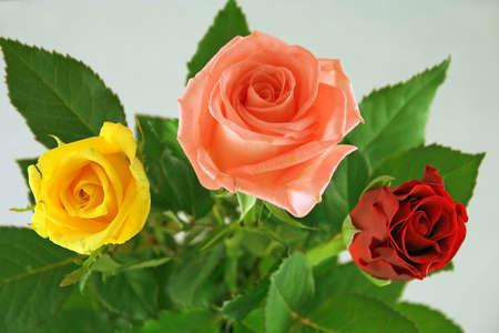 Three beautiful roses. photo