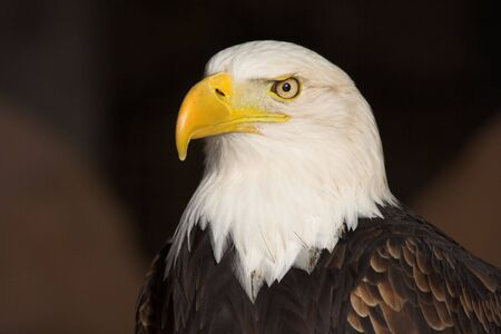 eagle feather: Portrait of a Bald Eagle (Haliaeetus leucocephalus). Stock Photo