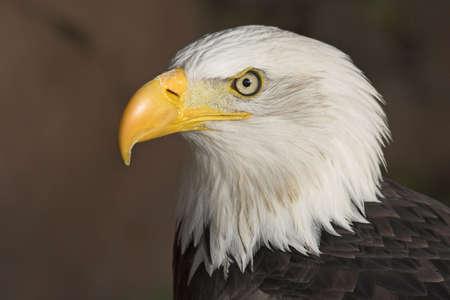 American Bald Eagle (Haliaeetus leucocephalus). photo