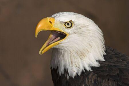 The American Bald Eagle (haliaeetus leucocephalus) screaming. photo