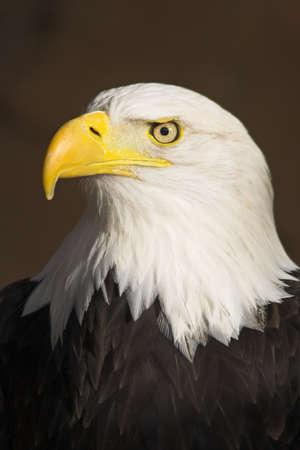 Portrait of the Bald Eagle (Haliaeetus leucocephalus). Stock Photo