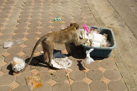 scoundrel: Hungry macaco fare un pasticcio sulla strada.