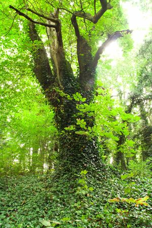 Beautiful scenery in the middle of the forest, an old tree covered with ivy and bathed in bright light photo