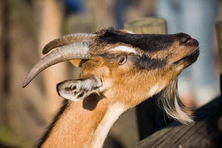 billy: Domestic goat  scientific name  Capra hircus  portrait, shallow dof, blurred background