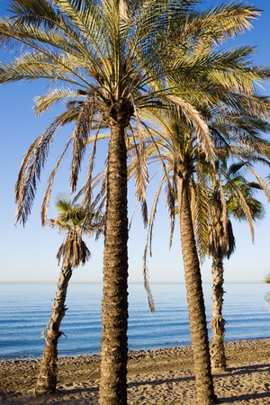 sol: Palm trees on a beach in Marbella, Andalusia region, Costa del Sol, Spain