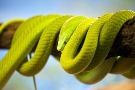 arboreal: Green Mamba (Dendroaspis) poisonous arboreal snake coiled up on a branch.