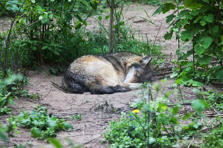 curled up: Wolf sleeping alone curled up on the ground.