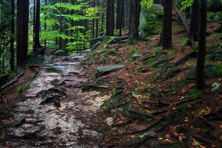 footway: Wild path covered with tree roots and rocks in the mountain forest, Karkonoski National Park, Poland.