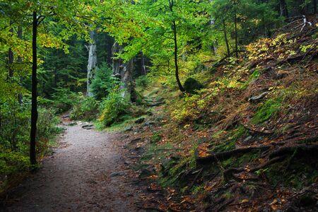 undergrowth: Mountain forest in October, path along slope in natural environment of Karkonoski National Park, Karkonosze Mountains, Lower Silesia, Poland.