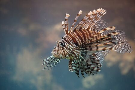 pterois: Red Lionfish (Pterois volitans), venomous, coral reef fish