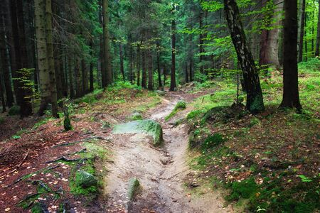 sudetes: Small footpath in fresh, natural environment of the forest, Karkonosze National Park, Sudetes, Poland