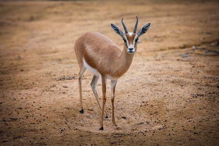 Dorcas Gazelle - Gazella dorcas neglecta Stock Photo