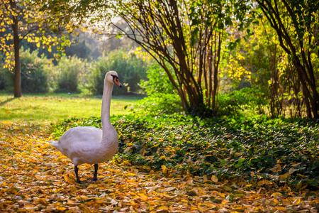 Swan stroll in fallen autumn leaves, tranquil scenery in Lazienki Park in Warsaw, Poland Standard-Bild