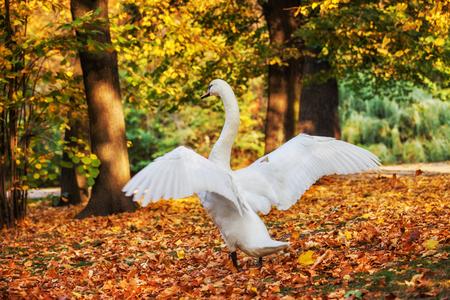 Beautiful swan with open wings in fallen autumn leaves, Lazienki Park in Warsaw, Poland