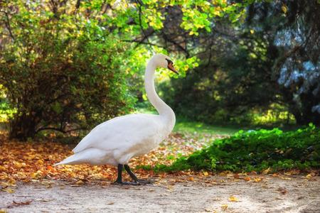 Swan walking in tranquil scenery of Lazienki Park in Warsaw, Poland. Standard-Bild