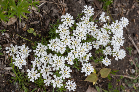 Iberis sempervirens, the evergreen candytuft or perennial candytuft blooming flowers, family: Brassicaceae, native to southern Europe.