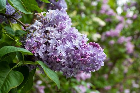 Syringa vulgaris Marechal Lannes gemeinsame lila blühende Blumen, Familie: Oleaceae, Makro Nahaufnahme.