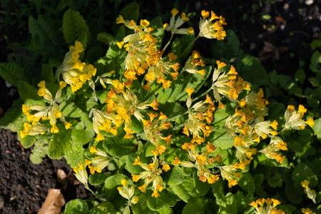 Primula veris L. common cowslip primrose yellow flowers, family: Primulaceae, region: Europe and western Asia