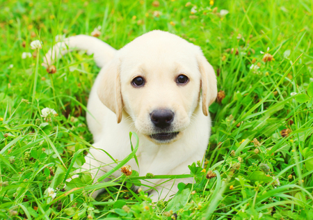 Beautiful dog puppy Labrador Retriever is lying resting on the grass