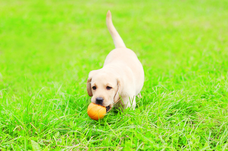 Beautiful dog puppy Labrador Retriever is playing with a rubber ball on the grass