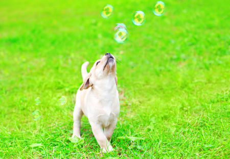 Beautiful dog puppy Labrador Retriever is playing with a soap bubbles on the grass Stock Photo