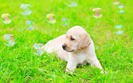 Beautiful dog puppy Labrador Retriever with soap bubbles is lying on the grass