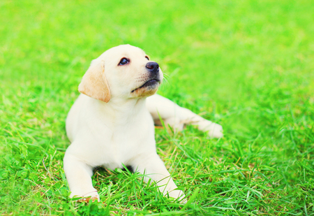 Cute dog puppy Labrador Retriever is lying resting on the grass in summer day Stock Photo